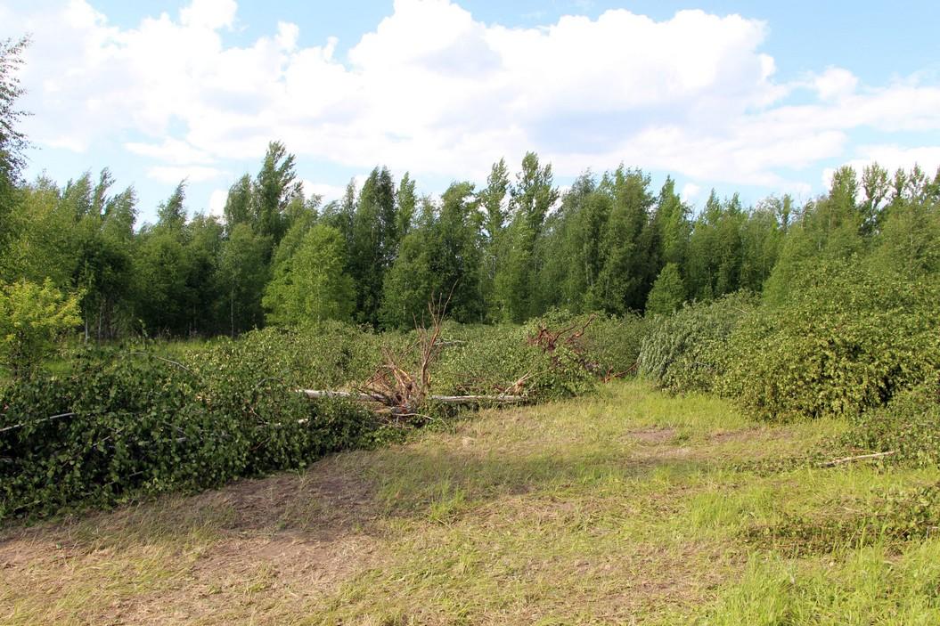 Выкорчеванные деревья в лесу